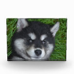 Adorable Alusky Puppy Dog Acrylic Award