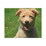 Adorable Nova Scotia Duck Tolling Retriever Puppy Canvas Print
