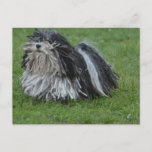 Adorable Puli Dog Postcard
