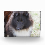 Adorable Sheltie Acrylic Award