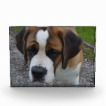 Adorable St Bernard Acrylic Award