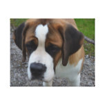 Adorable St Bernard Canvas Print