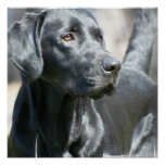 Alert Black Labrador Retriever Dog Poster