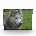 Beautiful Siberian Husky Puppy Dog Acrylic Award