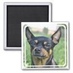 Black and Brown Chihuahua Magnet