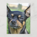 Black and Brown Chihuahua Postcard