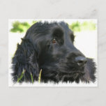 Black Cocker Spaniel Dog Postcard