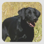 Black Lab in Field  Stickers