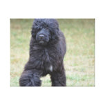 Black Portuguese Water Dog Canvas Print