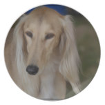 Blonde Saluki Dog Plate