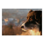 Border Collie Dog Poster
