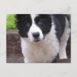 Border Collie Puppy Postcard
