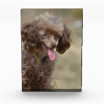 Brown Toy Poodle Award