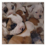 Bulldog  Puppies Poster