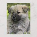 Chow Chow Dog Postcard