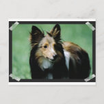 collie-16 postcard
