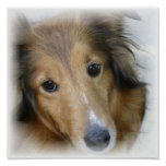 Collie Canvas Print