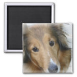 Collie Dog Square Magnet