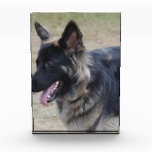 Cute Shiloh Shepherd Award