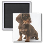Dachshund Puppy Square Magnet