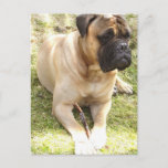 English Mastiff Postcard