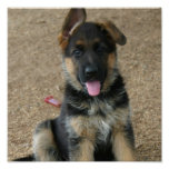German Shepherd Puppy Print