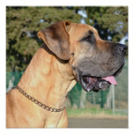 Great Dane Photo Poster