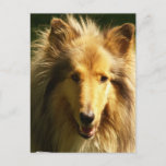 Lassie Collie Postcard