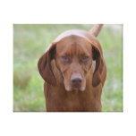 Lovable Vizsla Canvas Print