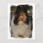 Miniature Collie Postcard