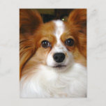 Papillon Dog Postcard