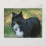 Pomeranian Dog Postcard