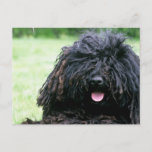 Puli Dog  Postcard