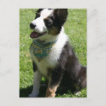 Sitting Border Collie Postcard