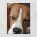 Sleeping Beagle Postcard