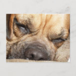 Sleeping Mastiff  Postcard