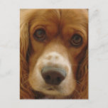 Spaniel Breed Postcard