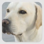 Yellow Lab  Stickers